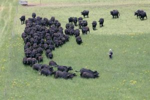 It's a one man job, the buffalo know what to do.