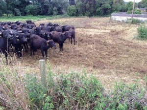Using the herd to manage rough grassland (after)